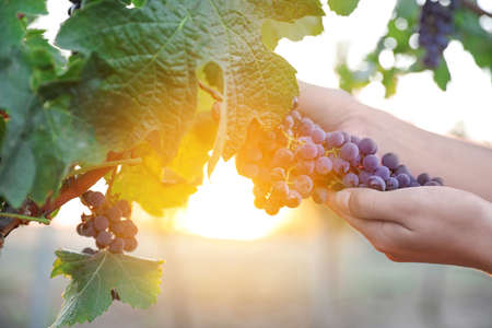 Woman picking grapes in vineyard on sunset, closeup Stock Photo