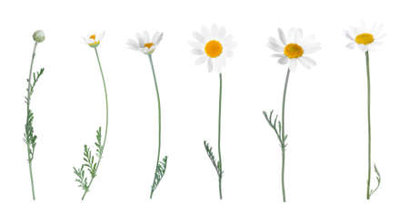 Set of beautiful chamomile flowers on white background. Banner design