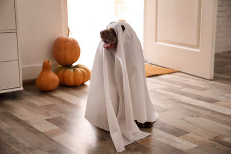 Adorable English Cocker Spaniel dressed as ghost at home. Halloween costume for pet Stock Photo