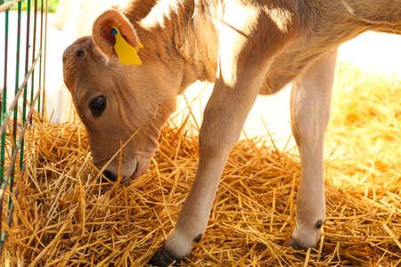 Pretty little calf eating hay on farm. Animal husbandry