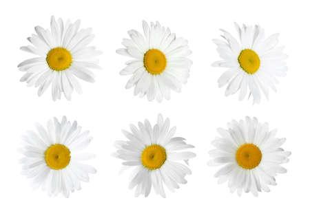 Set of beautiful chamomile flowers on white background Foto de archivo