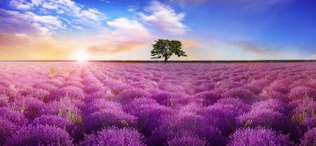 Beautiful lavender field with single tree under amazing sky at sunrise. Banner design Foto de archivo