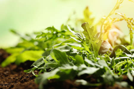 Sunlit young sprouts of arugula plant in soil, closeup