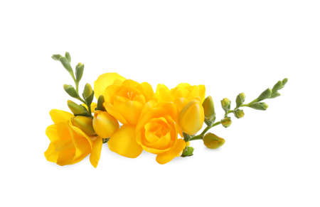 Beautiful yellow freesia flowers on white background