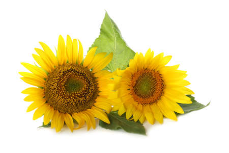 Beautiful bright blooming sunflowers on white background