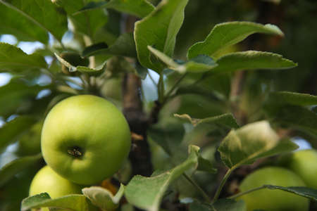 Ripe apples on tree branch in garden
