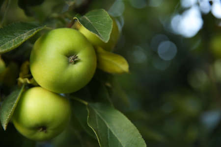 Ripe apples on tree branch in garden, closeup. Space for text
