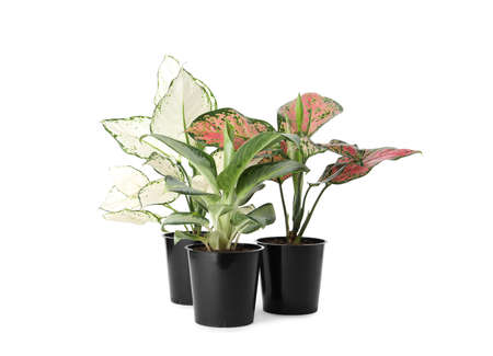 Beautiful Aglaonema plants in flowerpots isolated on white. House decor Zdjęcie Seryjne