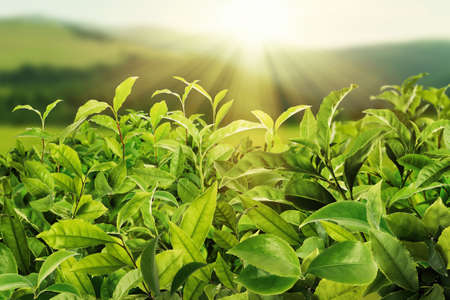 Tea plantation. Plants with fresh green leaves, closeup