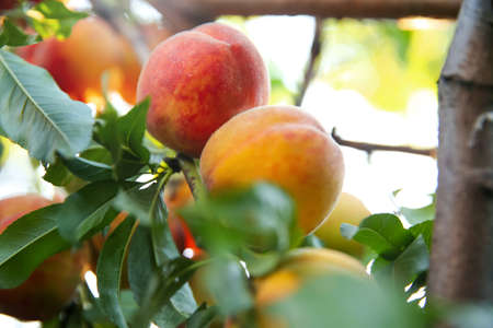 Ripe peaches on tree branch in garden, closeup