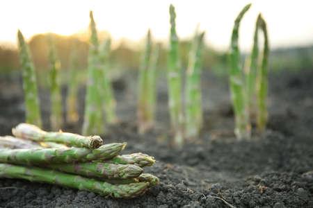 Pile of fresh asparagus on ground outdoors