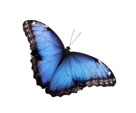 Beautiful common morpho butterfly isolated on white