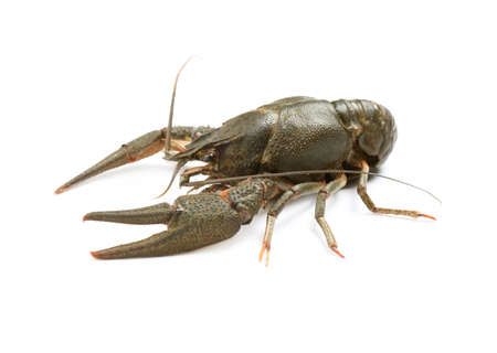 Fresh raw crayfish isolated on white. Healthy seafood