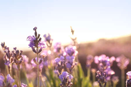 Beautiful sunlit lavender flowers outdoors, closeup view