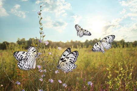 Green field with beautiful butterflies in morning Standard-Bild