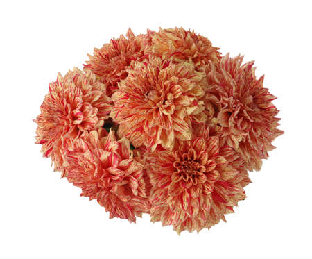 Beautiful coral dahlia flowers on white background 写真素材