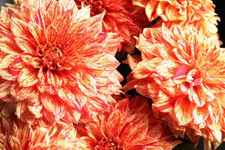 Beautiful coral dahlia flowers as background, closeup