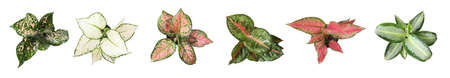 Set of Aglaonema plants for house on white background, top view. Banner design 版權商用圖片