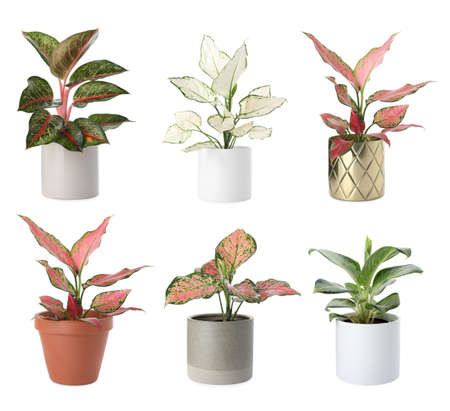 Set of Aglaonema plants for house on white background