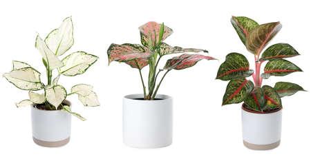 Set of Aglaonema plants for house on white background. Banner design 版權商用圖片
