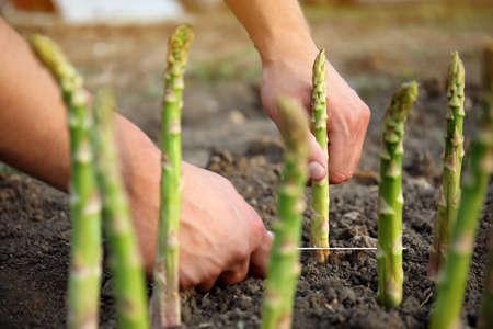 Man picking fresh asparagus in field, closeup