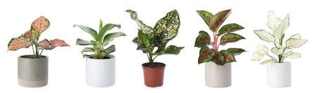 Set of Aglaonema plants for house on white background. Banner design