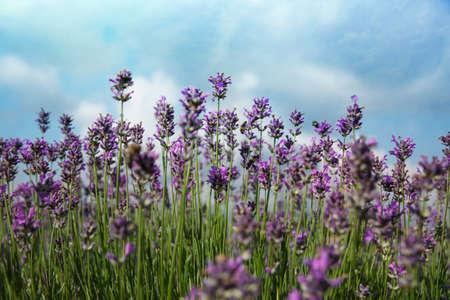 Beautiful lavender flowers growing in field, closeup 写真素材