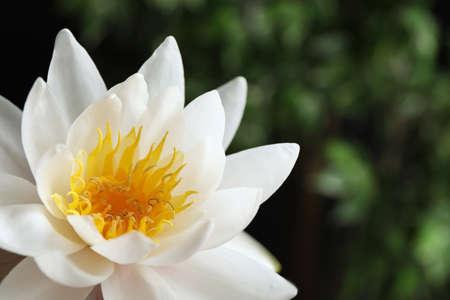 Beautiful white lotus flower on blurred green background, closeup