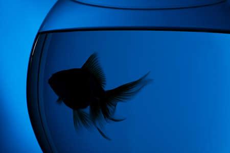 Silhouette of beautiful goldfish in aquarium on blue background, closeup