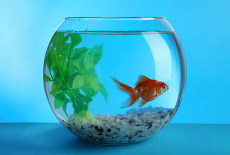 Beautiful goldfish in round aquarium with decorative plant and pebbles on blue background