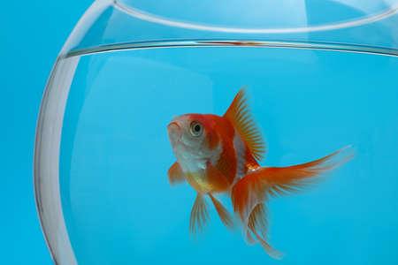 Beautiful goldfish in aquarium on blue background, closeup 版權商用圖片