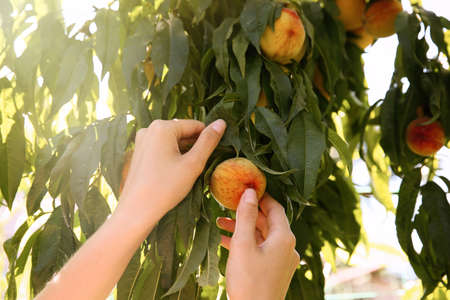 Woman picking ripe peach from tree outdoors, closeup