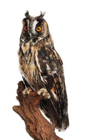 Beautiful eagle owl on twig against white background. Predatory bird Standard-Bild
