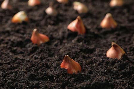 Many brown tulip bulbs planted in soil Archivio Fotografico
