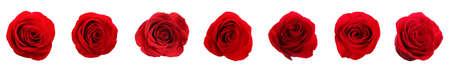 Set of beautiful red roses on white background. Banner design