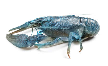 Blue or sapphire crayfish isolated on white