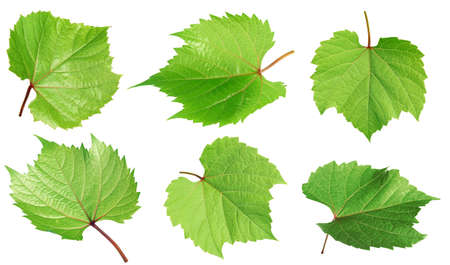 Set of green grape leaves on white background. Banner design