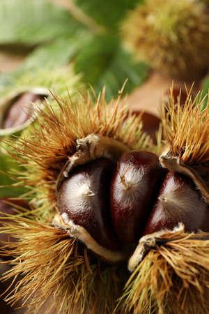 Fresh sweet edible chestnuts in husk, closeup