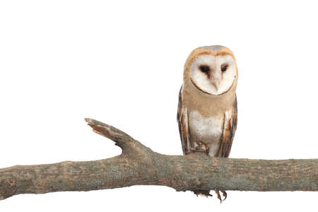 Beautiful common barn owl on twig against white background