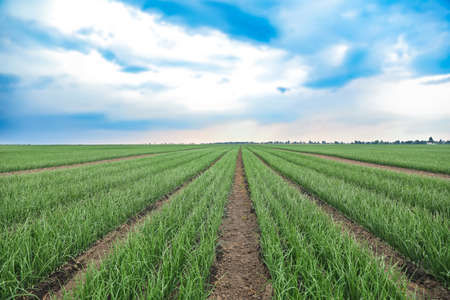 Rows of green onion in agricultural field Stock Photo