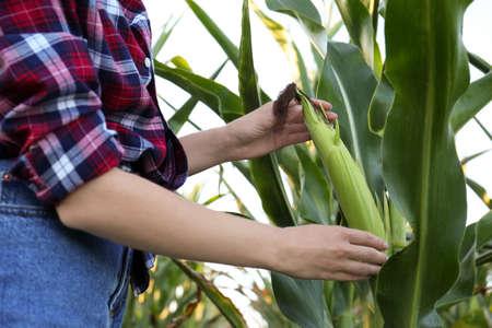 Woman with ripe corn cob in field, closeup