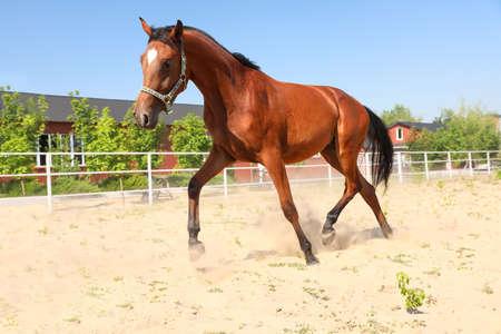 Bay horse in paddock on sunny day. Beautiful pet Stockfoto