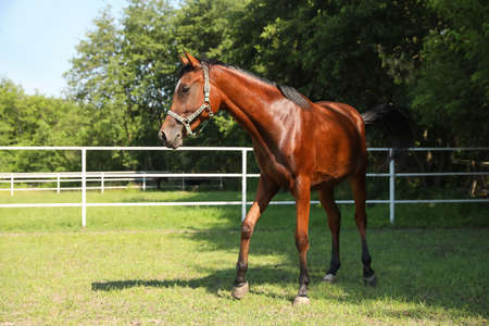 Bay horse in paddock on sunny day. Beautiful pet