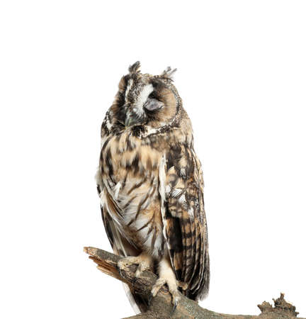 Beautiful eagle owl on twig against white background. Predatory bird