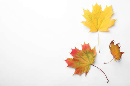 Dry leaves of maple tree on white background, top view. Autumn season