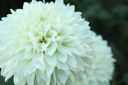 Beautiful blooming white dahlia flowers in green garden, closeup