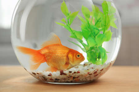 Beautiful bright small goldfish in round glass aquarium on wooden table indoors, closeup