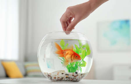 Woman feeding beautiful goldfish at home, closeup