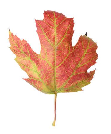 Beautiful leaf isolated on white. Autumn season Standard-Bild