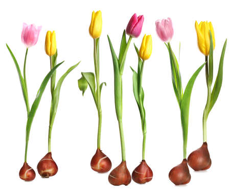 Set of tulips with bulbs on white background Imagens